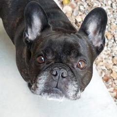 Good Morning! (Lainey1) Tags: oz ozzy dog frenchie bulldog lainey1 elainedudzinski frogdog zendog frenchbulldog ozzythefrenchie leica leicadlux4 dlux4