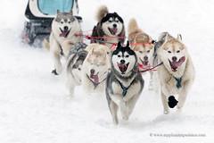 Siberian huskies sled dog team (My Planet Experience) Tags: siberian husky sled dog race racing musher mushing pulka pulk running snow snowdog winter sledge sleigh alaska yukon siberia myplanetexperience wwwmyplanetexperiencecom