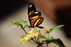 No Jardim das Sensaes / At Sensations Garden (Marcio Cabral de Moura) Tags: life macro paran butterfly insect curitiba inseto vida borboleta jardimbotnico botanicalgarden bgtpr jardimdassensaes sensationsgarden