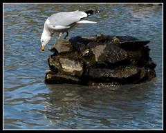 Point the way down (tiffa130) Tags: park sea lake canada rock photoshop bill pond nikon bc britishcolumbia gull beak elements vernon downward polson d40x
