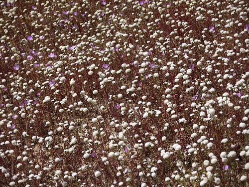 chaenactis carpet