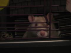 Wick6 (sheilah1138) Tags: pets white rat cage albino lonely beady behindbars dlis571fa07