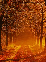 Autumn (Vineyards) Tags: road november autumn light sun holland tree fall nature colors dutch leaves forest automne season licht photo leaf october utrecht foto herbst herfst nederland thenetherlands natuur atmosphere boom september otoo melancholy sunrays bos magical autunno groeneveld haust zon outono hst pleasant attraction hypnotic sunbeams indiansummer weg enchantedforest podzim boswandeling jesie kleur baarn colorchange bladeren sonbahar zonnestralen efterr mywinners musimgugur herfstfoto