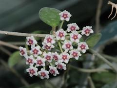 Hoya  nummularioides - Pakeha's picture (fracass.be) Tags: flower fleur apocynaceae hoya hoyas asclepiadaceae asclpiadace asclepiadoideae