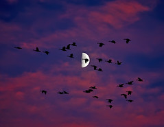 Halloween Omen (Fort Photo) Tags: longexposure sunset moon bird art nature birds animal silhouette composite night dark geese bravo colorado nightscape nocturnal fort wildlife flock birding fortcollins ave co collins ornithology soe nocturne avian 2007 thebigone vob splendiferous supershot outstandingshots candageese mywinners platinumphoto colorphotoaward impressedbeauty superbmasterpiece diamondclassphotographer flickrdiamond theunforgettablepictures thegoldendreams moonwasnotadded canadageesetheoneelementthatwasadded