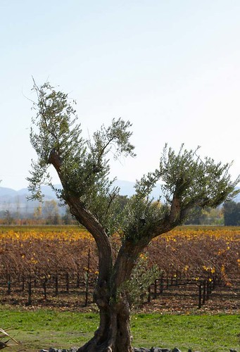 green fall colors yellow vineyard fallcolors hopland mendocinocounty junipertree jerichovineyard hoplandpassport