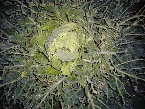 cabbage02