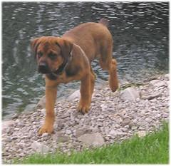 Thor, (Born 1/30/06) (muslovedogs) Tags: dogs puppy mastweiler myladyoffspring lilboyoffspring