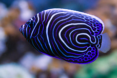 Emperor angel (neilcreek) Tags: blue fish black water lines animal swim aquarium marine stripes tail spots tropical swirls aquatic fin reef emperorangel masov blog071111