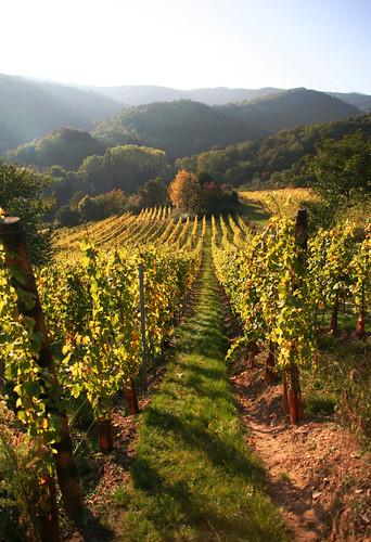 Vineyard -3