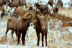 Thats What Friends Are For (littlebiddle) Tags: washington sheep males bonding scratching bighorns naches animaladdiction onlythebestare