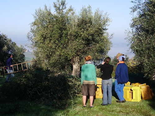 morning olive picking