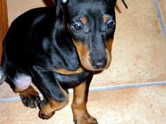 Margot (Master Mason) Tags: dog chien cane olympus perro explore bologna margot caught manchesterterrier mastermason