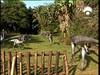 55 Ornithomimus -53885