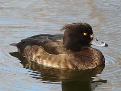 Tufted Duck on Lavender Pond