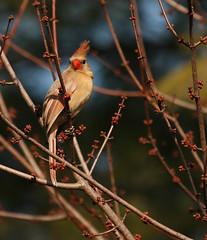 Mrs. Bright-Beak,   A Female Cardinal (rivadock4) Tags: tree bird maple backyard cardinal windy cardinaliscardinalis redbird 400mm naturesfinest abigfave canonxti impressedbeauty avianexcellence
