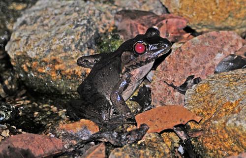 Rio Grande Leapard Frog