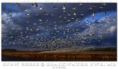 The Birds! (Nikographer [Jon]) Tags: winter bird birds animal animals clouds landscape march landscapes mar inflight md wildlife flock maryland easternshore national blackwater 2008 refuge nationalwildliferefuge snowgeese nwr tokina1224mmf4 snowgoose tonemapped marylandseasternshore blackwaterrefuge blackwaternationalwildliferefuge fujifilms5pro bnwr 1exphdr 20080301fs510134 jss20081