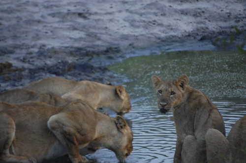 a cub and its pride drink at a watering hole