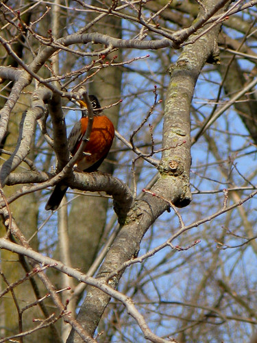 Robin in the Tree