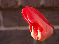 Scary First Tulip (Mamluke) Tags: red sun sunlight flower rot home fleur yard rouge scary rojo flor first tulip tageslicht sunlit blume fiore rood rosso deformed zonlicht lumiredusoleil luzdelsol mamluke lucesolare