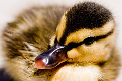 Duck Black (andYellow)