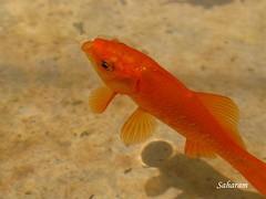 (Saharam) Tags: fish goldfish