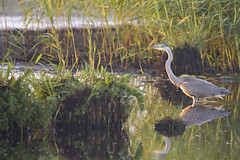 greyheron ardeacinerea czaplasiwa bird nature sunrise