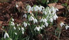 Snowdrops and winter gardens in Kent (Adam Swaine) Tags: snowdrops flora flowers wildflowers petals england english macro britain british swaine countryside churchyard greatbritain naturelovers nature