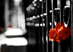 Shadows of another day (irene gr) Tags: red black flower fence spring searchthebest bokeh olympus explore frontpage zuiko e30 43 zd fourthirds 1454mm f2835 zuikodigital overtheexcellence bokehphotography 1454mmii irenegr