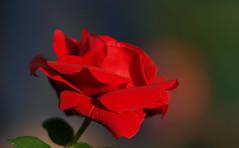Rose - Doblhoffpark - Baden bei Wien (arjuna_zbycho) Tags: roses flower rose austria österreich olympus gül baden rosas niederösterreich macrophoto badenbeiwien e500 róża róże rakousko makrofoto masterphotos doblhoffpark الورد roselovers impressedbeauty biosphaerenparkwienerwald gülsevenler vosplusbellesphotos