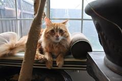 On alert (JonJCP) Tags: tree window animal cat daylight feline maine coon mainecoon