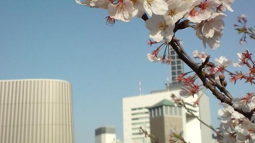 千鳥ケ淵の桜-10