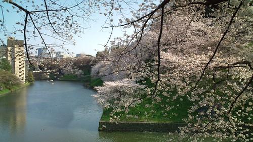 千鳥ケ淵の桜-2
