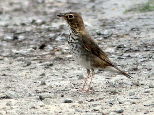 Swainsons Thrush 20110511