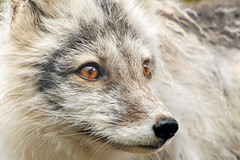 Changes (affinity579) Tags: wild portrait nature colors animal closeup fur spring nikon quebec wildlife fox ecomuseum articfox supershot specanimal