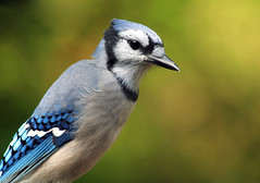 (nature55) Tags: nature birds wisconsin outdoors jay aves bluejay featheryfriday flickrsbest specanimal nature55 mywinners diamondclassphotographer fickrdiamond 262explorepages