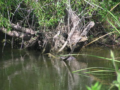 Can you see the alligator? - by Donna62