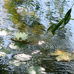 Water Lily (wendymerle) Tags: reflection water waterlily waterlilies brook nymphaea hardy wbg nymphaeaceae