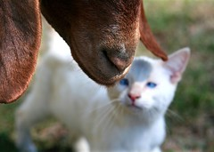 To nose you is to love you (Boered) Tags: friends love cat boer nose kitten goat luna boergoat baloo abigfave flickrdiamond
