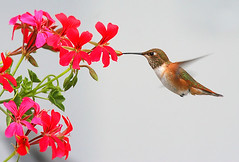 Rufous Hummingbird and Geranium (janruss) Tags: bird hummingbird defenders avian rufoushummingbird blueribbonwinner amazingtalent golddragon naturesgallery goldmedalwinner colorphotoaward aplusphoto citrit platinumheartaward natureoutpost betterthangood goldstaraward janruss janinerussell