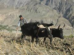 The ancient means of agriculture (imranthetrekker , new year new adventures) Tags: pakistan snow afghanistan mountains history tourism church nature architecture river oak adventure glaciers greenery peshawar suspensionbridge polo nwfp juniper mosques shepherds silkroute chitral khyberpass colorsofautumn hindukush terichmir romboor torkham imranthetrekker imranschah northpakistan kalashvalleys shandoorpass decoratedtrucks muhabbatkhanmosque nooristan bamborate chitralguy thecastleoffairies trekkinginkalashvalleys shandoorfestival stctahedral kalashpasses donsonpass kundayakpass kalashgilrs