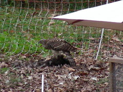 Goshawk kills chicken