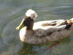 Russian Duck? San Saba