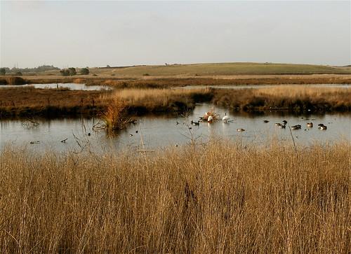birds in the Baylands