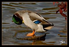 Mallard Preening (James Duckworth) Tags: blue red orange lake green bird water duck preening stump mallard fowl waterfowl jimduckworth jamesduckworth jamesduckworthphotography