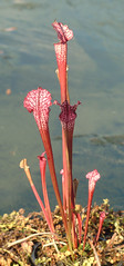 Pitchers (zxgirl) Tags: flowers plants plant flower pitcherplants carnivore carnivorousplants sarracenia