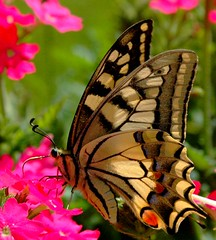 Papilio machaon-Le grand porte-queue. (rayd2b ..(Back with a new avatar)) Tags: flowers plants flower color nature flora natur blumen natura blooms fiori colori natures papillons flori schmeterling machaon fluture abigfave theexhibit anawesomeshot