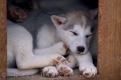 cute puppy dog sleeping (Rolf Hicker Photography) Tags: world travel dog canada cute dogs nature animal animals puppy mammal photography tiere puppies photos scenic manitoba churchill cutedogs mammals hudsonbay naturephotography travelphotography canisfamiliaris rolfhicker canadapictures canadianeskimodogs canadaphotography honeymooncanada canadianeskimodog picturesofcanada hickerphotocom