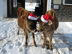 Remick Museum's Christmas calves